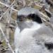 Fledgling Loggerhead Shrike Portrait (brad.schram) Tags: loggerheadshrike laniusludovicianus fledglingshrike