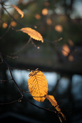 Nothing lasts forever (natures-pencil) Tags: leaf beech golden autumn dof differentialfocus backgroundblur bokeh pretentiousdrivel
