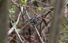 The Black-and-White Warbler (praja38) Tags: nature wildlife life wild capricorn humour caps cap forest woods branch feathers feather beak feet animal bird warbler blackandwhitewarbler canadian canada ontario whitby thicksonswoods
