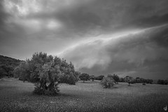 Olive grove in Central Greece (tzevang.com) Tags: olive grove bw landscape greece tree olives sky dramaticsky