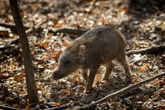Frischling (Nereus[GER]) Tags: frischling wildschwein schwein wild säugetier wildpark karlsbrunn canon eos 80d 300mm f4