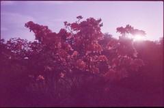 (✞bens▲n) Tags: pentax lx fa 31mm f18 limited film slide kodak ektachromep1600x at800 expired analogue japan flowers light