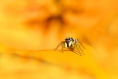 Au coeur des choses (Dalt-Gilles) Tags: fleur macro saltique araignã©e nacreimagesstagesphotos stagesphotos normandie araignée