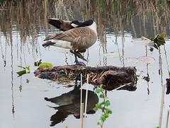 Canada goose contortionist (kkdemien) Tags: birds canadiangoose
