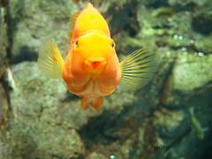 Make a wish or give a kiss.. (PolaDott) Tags: goldfish wish makeawish złotarybka