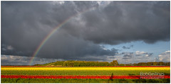 Rainbow Over Flowers (BobGeilings.nl) Tags: background beautiful beautifulworld blooming blue botany cinematography clouds cloudy color colorfull colors cultivated dramatic environment field floral flower flowerfield fresh garden green happy landscape light nature netherlands orange outdoor path photography plants rain rainbow rainclouds red romantic season shadows sky skyline spring springtime travel tree trees tulip tulips valentine way yellowbackground