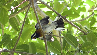Western Spindalis (Spindalis zena) WESP- Bahamian Specialty Invasion in 2017! (part 1)