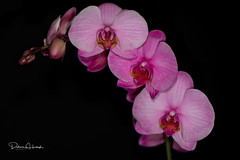 Pink Orchids - Explored 05/19/17 (patricia.ricehertogh) Tags: d4s 105mm macro flash r1c1speedlight pink floral blackbackground
