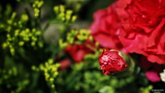 #photography #canon700d #istanbul #bahar #spring #flowers #flower #snapseed  #çiçek #colorofspring #colourful #red #karanfil #studiophotography #carnation (oppeslife) Tags: çiçek snapseed colourful flower photography bahar carnation studiophotography colorofspring red spring canon700d istanbul karanfil flowers
