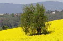 Un intrus dans le colza ! (jean-daniel david) Tags: arbre colza champ campagne jaune nature