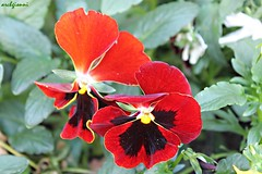 naturaleza (archgionni) Tags: natura nature fiori flowers colori colours petali petals foglie leaves rosso red arancione orange nero black verde green simplysuperb
