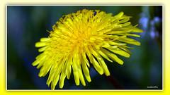 Dandelions 3 (andantheandanthe) Tags: spring flower flowers blossom depthinfiield field floret wild wildflowers dandelions close closeup macro