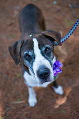 DSC_1348.jpg (tackycactus) Tags: dog adoptdontshop boxer humane society puppy love adopt beautiful cutie family alpena michigan