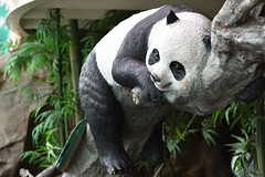 Giant Panda (大貓熊) (scv1_2001) Tags: nikon nikon70200mmvrii nikond750 taiwan taipeizoo 台北市立動物園