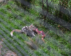 Eastern Spotted Quoll (zenseas) Tags: dasyurusviverrinus easternspottedquoll quoll devilsatthecradle cradlemountain tasmania australia south southern eastern carnivorous carnivorousmarsupial cute spotted spots eat eating vacation holiday workingholiday workingvacation