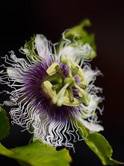 果物時計草 (Polotaro) Tags: mzuikodigital45mmf18 flower nature olympus epm2 pen 花 自然 オリンパス ペン パッションフルーツ クダモノトケイソウ 5月 庭 garden