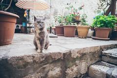 King Of Dubrovnik (Felicius Exelsberg) Tags: cat cats katze katzen dubrovnik street strase stadt city stone stones vintage filmlook film analog king croatia kroatien flowers blumen sun sunny fuji vsco