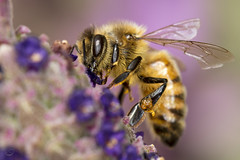 Bee on Flower (vanalan) Tags: california cupertino bee lavender spanishlavender flower
