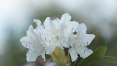 Rhododendron 'Cunningham's White' (Stefan Zwi.) Tags: wildblume 105mm f28 sigma sony a7 ilce7 emount farbe flora closeup macro nature background beauty blooming bloom botany green bokeh rhododendron ngc
