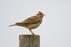 Skylark (Shane Jones) Tags: skylark bird songbird nature wildlife nikon d500 200400vr tc14eii