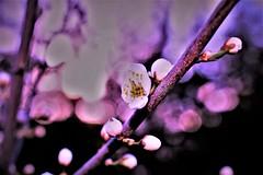 Happy Sliders Sunday😊HSS! (martinap.1) Tags: hss sliderssunday nikon40mmmacro blüte blossom bokeh purple nikond3300 spring frühling macro makro blume