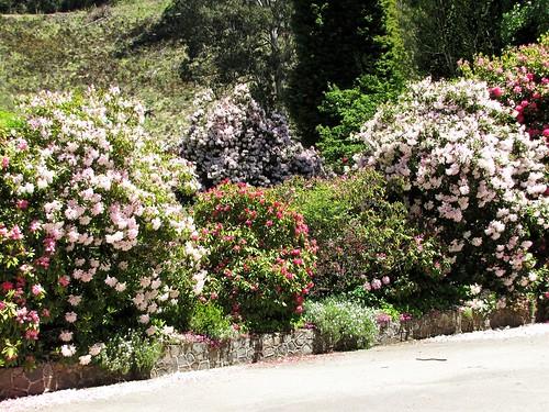 Rhododendons, Bogong village