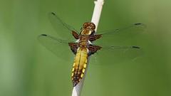 Broad-bodied Chaser ~ Libellula depressa (Cosper Wosper) Tags: broadbodiedchaser libelluladepressa westhay somerset levels