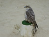 Waqif falcons (3) (hansbirger) Tags: quatar doha year2017