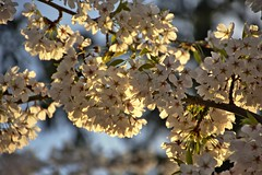 Spring Cherry Blossoms (Jesse McCarty) Tags: spring cherryblossoms blossoms tree flowers april skagitcounty skagitvalley mountvernon pacificnorthwest evening nikon nikond7200 180140mm nikon18140 d7200 blossom flower