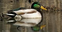 serious duck (don.white55 what's the hurry..) Tags: mallardduckanasplatyrhynchod wildwoodlake wildwoodpark harrisburgpennsylvania canone0s7od canoneos70dtamronsp150600mmf563divcusda011 tamronsp150600mmf563divcusda011 duck waterfowl wildlife nature reflection iridescent