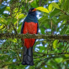 Slaty-tailed Trogon Male (Trogon massena), Costa Rica (Lassetjus photo) Tags: heredia costarica cr