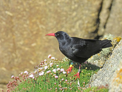 Chough Bling (Julian Hodgson) Tags: chough redbilledchough pyrrhocoraxpyrrhocorax paloresowkernewek carnlesboel pendowercoves porthgwarra stlevan cornwall bird cliffs granite coast sea canonpowershotsx60hs avianbling birdringing britishtrustforornithology bto royalsocietyfortheprotectionofbirds rspb