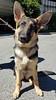 Kelby (PauerKorde Photo) Tags: germanshepherd gsd guidingeyesfortheblind guidingeyes dog pup puppy servicedog