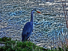 Heron (tobymeg) Tags: dumfries scotland fishing heron wildlife nith river panasonic dmcfz72