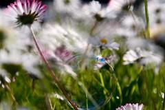 Day Dreaming (Vivi Black) Tags: bubbles bokeh macro fun nature spring flowerpower light dream lufe sunday sunna sunny