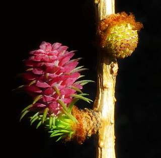 Larch Tree Flower..x