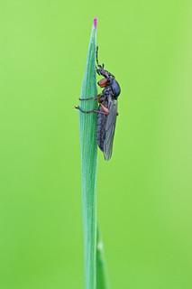 March Fly (Bibio cf. varipes, female)