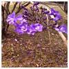 Flores/ Flowers (Ju Emery) Tags: cerrado natureza nature lindas beautiful lilas lilás bsb brasil brazil brasília flowers flower flores flor juemery