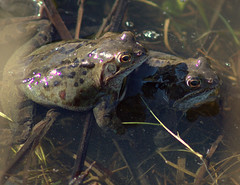 Happy frogs (Tony Worrall) Tags: preston north northwest lancs lancashire england northern uk update place location visit area county attraction open stream tour country welovethenorth unitedkingdom sping wet water pool avenham park frog sexy spawn mate frogs tailless amphibians anura splash