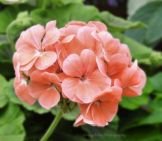 Zonal Geranium in Salmon color