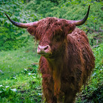 A Hairy Coo! thumbnail