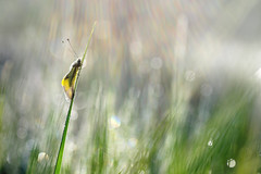 Poste d'observation (donlope1) Tags: macro nature light ascalaphe libellule insect proxy proxi dragonfly morning sunrise dew bokeh flare dof macrodreams