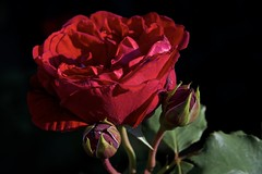 2 buds and a sun lit rose (Pejasar) Tags: rose two rosebuds sunlit contrast red garden home tulsa oklahoma spring 2017