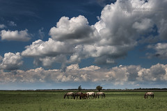 Konik Horses, The Netherlands (photovansoest | nature & wildlife photography) Tags: 2014 nederland oostvaardersplassen konikhorses thenetherlands wildlife wild horses paarden