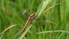 Black-tailed Skimmer ~ Orthetrum cancellatum  {Explored} (Cosper Wosper) Tags: blacktailedskimmer orthetrumcancellatum westhay somerset levels dragonfly teneralmale