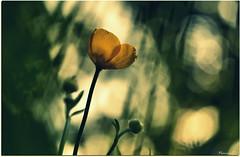 Plénitude du jour... ( In Explore 22.05.2017) (Nanouch@) Tags: macro macroworld macrodream nature naturaleza jardin garden bokeh lumière luz light fleur flower flor flores flowers vent dream rêve macrounlimited explore explored