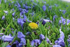Dandelion (hopedorman) Tags: nature outdoor nopostprocessing jacaranda jacarandas jacarandatree purple plant dandelion yellow grass
