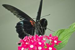 con la boca llena (ebsigma) Tags: parquedelasciencias granada animales mariposa falcon halcón comer parpado color azul butterfly comiendo flor naranja flower insecto palo stik mirada ojo larva pole buho españa