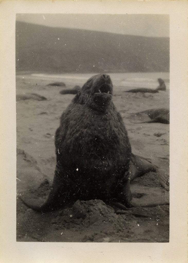 Bull Sea lion, Campbell Island, 1945