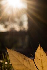 Autumn rays (OzzRod) Tags: sony nex5t carlzeissjenabiotar58cmf2 sunburst rays bokeh leaf venation autumn extensiontube dailyinmay2017 intothesun uncropped